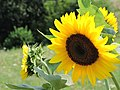 Summer sunflower (19121648603).jpg