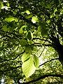 Sun through a leaf (5111262991).jpg
