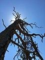 Sundance Tree.jpg