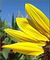 Sunny Sunflower Petals (10386540106).jpg