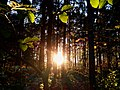 Sunset in the woods - Flickr - Stiller Beobachter.jpg