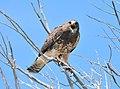 Swainson's Hawk Seedskadee National Wildlife Refuge (20505261951).jpg