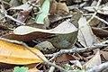Swainson's Warbler Hooks Wood High Island TX 2018-04-11 09-58-53 (40910395045).jpg