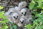 Swamp Harrier chicks in nest Waikato.jpg