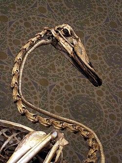 Skelet af halsen på en svane.Foto: Tup Wanders www.flickr.com