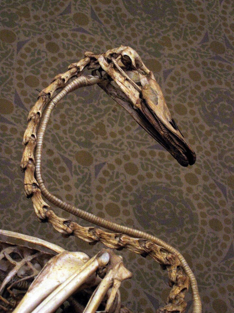 Swan neck skeleton