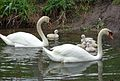 Swans and cygnets.JPG