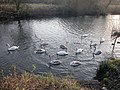 Swans of Avon - geograph.org.uk - 128254.jpg