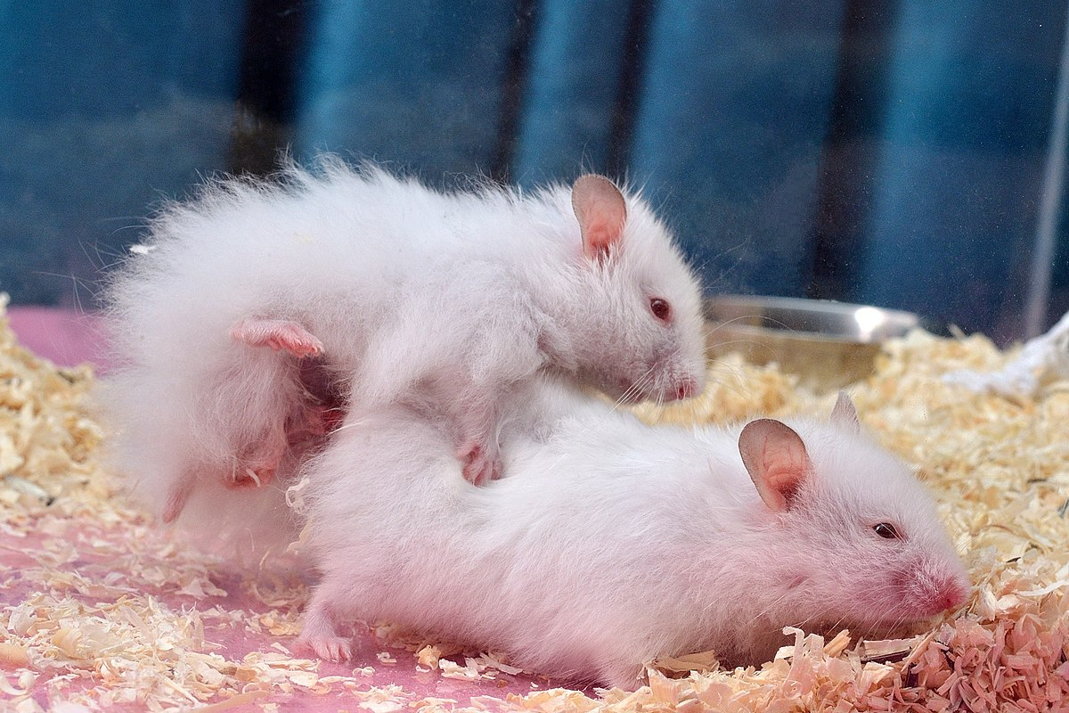 Syrian Hamster Breeding Wikipedia