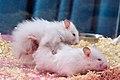 Syrian hamster - mating.jpg