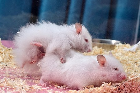 Syrian hamster mating