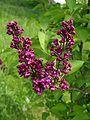 Syringa 9 (Poltava Botanical garden).jpg