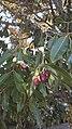 Syzygium guineense 71895621.jpg