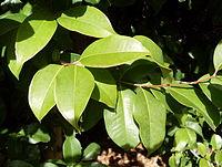 Syzygium hodgkinsoniae - leaves.JPG