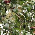 Syzygium jambos-IMG 8749.JPG
