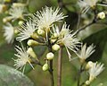 Syzygium zeylanicum flowers 56.jpg