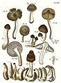 Tab14-Agaricus multiformis Schaeff.jpg