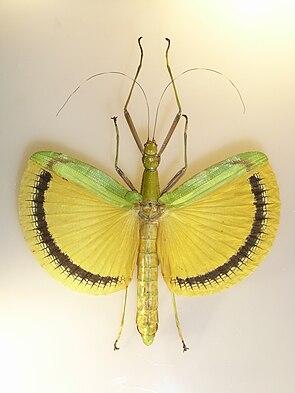 Tagesoidea nigrofasciata