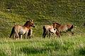 Takhi – Wild horse.jpg
