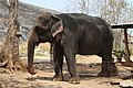 Tame cow elephant (7568221658).jpg