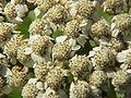 Tanacetum macrophyllum-Stueber6.jpg