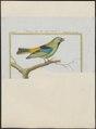 Tangara seledon - 1700-1880 - Print - Iconographia Zoologica - Special Collections University of Amsterdam - UBA01 IZ15900295.tif