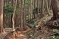 Tanzawa's Sugi forest (49442395686).jpg