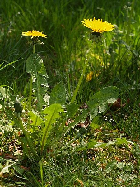 File:Taraxacum plant.jpg