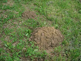 Eastern mole - Molehill