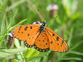 Tawny Coaster Butterfly I IMG 5018.jpg