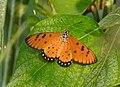 Tawny Coster Acraea terpsicore by Dr. Raju Kasambe DSCN3910 (4).jpg