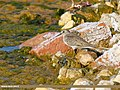 Temminck's Stint (Calidris temminckii) (30021417068).jpg