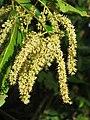 Terminalia elliptica - Indian Laurel flowers at Nedumpoil (18).jpg