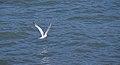 Tern (40330).jpg