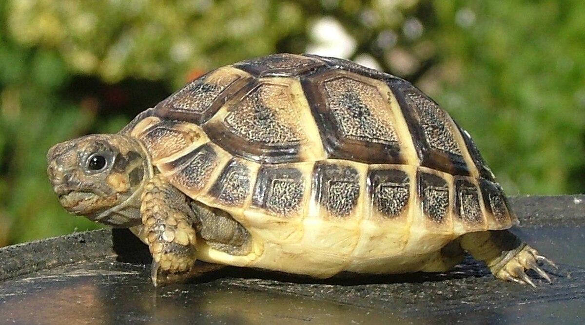 Testudo hermanni boettgeri wikispecies for Bassin exterieur pour tortue de floride