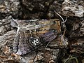 Tethea ocularis - Figure of eighty - Совковидка буроватая (39959918025).jpg