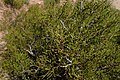 Tetraclinis articulata kz03 Morocco.jpg