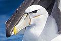 Thalassarche cauta portrait - SE Tasmania.jpg