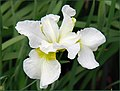The Iris (13) (8096408082).jpg