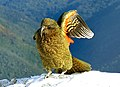 The Kea. alpine parrot. (8100868961).jpg