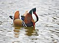 The Mandarin Duck of St. Ferdinand Park (45042674174).jpg