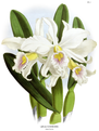 The Orchid Album-01-0011-0002-Laelia Schroderii.png
