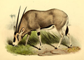 Oryx beisa resembles the closely related O. gazella, but the latter has an entirely black tail, a black patch at the base of the tail, and more black to the legs and lower flanks.