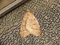 Theria rupicapraria (13039526824).jpg