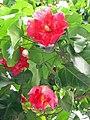 Thespesia grandiflora.jpg