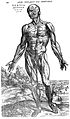 Third muscle man, by Vesalius. Wellcome L0001646.jpg