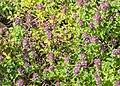 Thymus serpyllum in Jardin des 5 sens (1).jpg