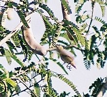 Tickels-FlowerPecker-InFlight1.JPG