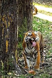 d4d489c8b932 Tigress in Kanha National Park showing flehmen