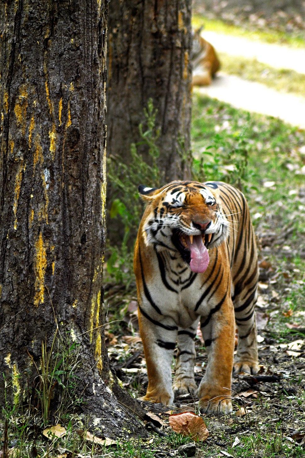 Tiger's Flehmen Response - Kanha National Park